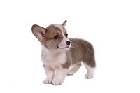 Canines, animal, domestic, corgi, dog, puppy, pet (thumbnail)