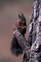 squirrel, color variation, panel format, kobel, ball nest, rodent, rodents