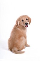 canine, domestic animal, closeup, close up, looking back, companion, golden retriever