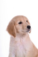 canine, domestic animal, closeup, close up, looking away, companion, golden retriever
