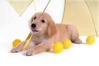 domestic animal, golden retriever, ball, umbrella, retriever, looking up, petdog