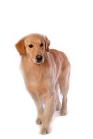 canine, domestic animal, closeup, close up, looking down, companion, golden retriever