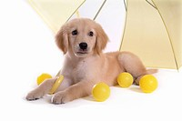 Domestic animal, golden retriever, ball, umbrella, retriever, looking away, petdog (thumbnail)