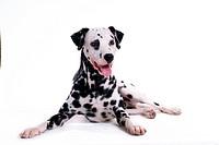 domestic, animal, dalmatian, dalmation, dog, canines, pet