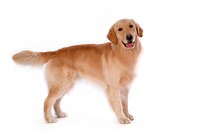 closeup, domestic animal, close up, looking camera, looking away, canine, golden retriever