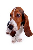canine, dog, close up, domestic animal, pet, basset hound
