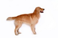 canine, domestic animal, closeup, close up, looking forward, companion, golden retriever