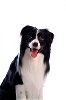 Faithful, domestic animal, companion, canine, close up, border collie (thumbnail)