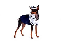 companion, pinscher, house pet, canines, domestic, miniature pinscher
