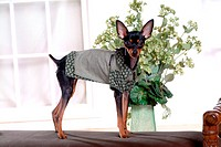 pose, pinscher, house pet, canines, domestic, miniature pinscher