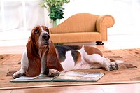 land animal, chair, mammal, vertebrate, animal, bassethound