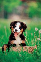 domestic dog, 35mm, canine, domestic animal, BerneseMountainDog, bernese mountain dog, film