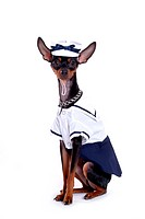 Companion, pinscher, house pet, canines, domestic, miniature pinscher (thumbnail)