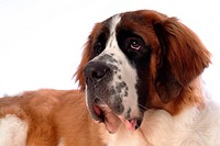 pose, st bernard, house pet, canines, domestic, posed, saint bernard