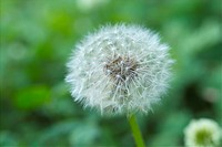 bloom, flower, flowers, plants, plant, blossom, dandelion