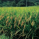 rice field, rice, landscape, scenery, ricefield, country