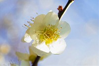 Flower, spring, ume flower, natural world, nature, blooming, plant (thumbnail)