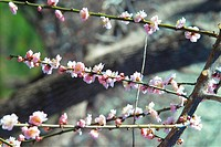 Blooming, spring, ume flower, natural world, nature, white, plant (thumbnail)