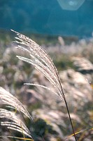 grasses, autumn, grass, plants, plant, nature
