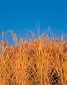 natural world, gold, blue, sky, rice, scenery