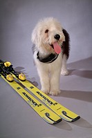 pose, sheepdog, house pet, canines, domestic, old english sheepdog