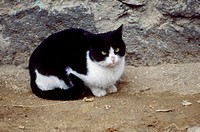 mammal, cat, vertebrate, animal, black, land animal, pet