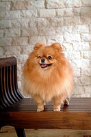 canine, dog, close up, domestic animal, pet, pomeranian