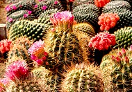 flowers, nature, flower, cactus flower, scene, wildflower, landscape