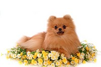 Posed, domestic, pose, house pet, canines, pomeranian (thumbnail)