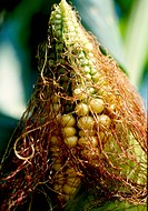 Corn floss, nature, corn silk, summer, season, food, closeup (thumbnail)