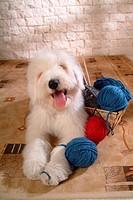 pose, sheepdog, house pet, canines, domestic, posed, old english sheepdog