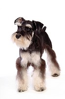 pose, schnauzer, house pet, canines, domestic, posed, miniature schnauzer