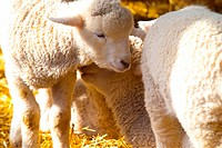domestic animal, sheep, land animal, mammal, vertebrate, animal