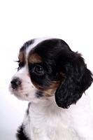 Canines, animal, domestic, cocker spaniel, dog, puppy, pet (thumbnail)