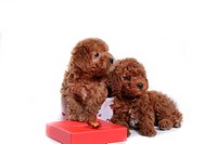 house pet, domestic, cute, loving, canines, dogpoodle