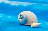 Mollucca, animal, mollusc, mollusks, mollusk, shell, conch (thumbnail)