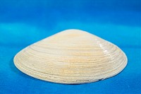 Mollucca, animal, mollusc, mollusks, mollusk, shellfish, shell (thumbnail)