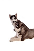 Cute, husky, loving, canines, domestic, siberian husky (thumbnail)