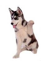 canines, dog, domestic, husky, siberian husky, loving, animal
