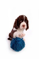 House pet, springer spaniel, canines, domestic, spaniel, pose, english springer spaniel (thumbnail)