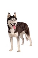 Cute, husky, loving, canines, domestic, house pet, siberian husky (thumbnail)