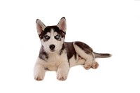cute, husky, loving, canines, domestic, house pet, siberian husky