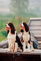 dog, 35mm, petdog, animal, springerspaniel, domestic animal, film