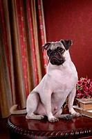 posed, domestic, pose, house pet, canines, pug
