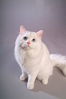 Closeup, TurkishAngora, close up, domestic animal, turkishangora, companion, cat (thumbnail)