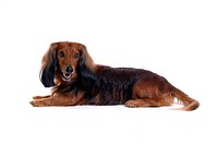 closeup, domestic animal, close up, looking camera, looking away, dachshund