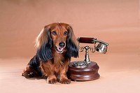 looking away, telephone, domestic animal, antique telephone, classical telephone, dachshund