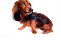 canine, domestic animal, closeup, close up, looking up, dachshund