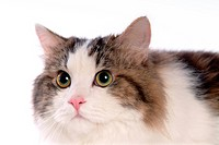 domestic cat, TurkishAngora, feline, domestic animal, turkishangora, Turkish angora, cat