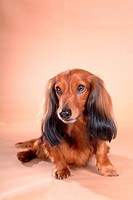 Canines, dachshund, domestic, telephone, long-haired, dog (thumbnail)